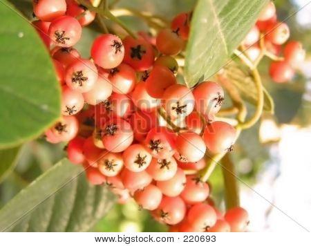 Red Berries-1