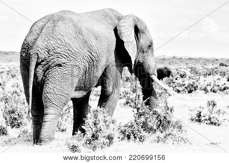 Monochrome male African Elephant in the Eastern Cape Province of South Africa