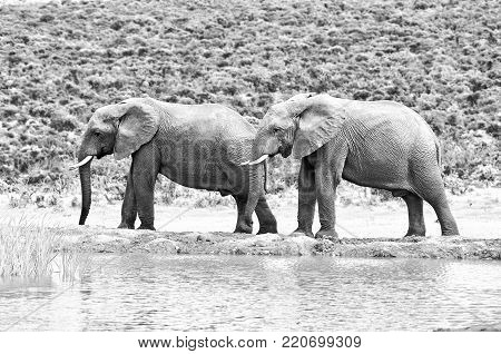 Monochrome elephants in the Eastern Cape Province of South Africa
