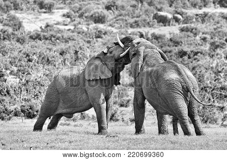 Two male African elephants fighting in the Eastern Cape Province of South Africa.