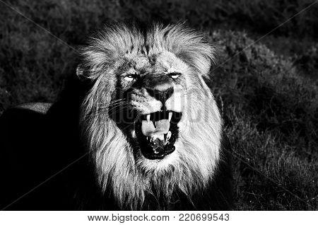 A Kalahari lion, panthera leo, at Kuzuko in South Africa. Monochrome