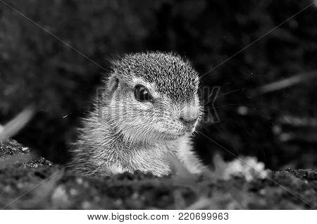 Monochrome Cape Ground Squirrel (Xerus Inauris). Photo taken at Mata Mata, South Africa