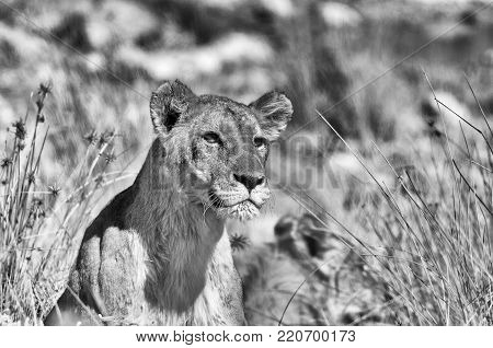 Monochrome staring African lion, Panthera leo, in Northern Namibia