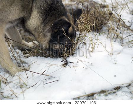 A shepherd dog sniffing out mice in the ground covered with snow, particular focus closeup