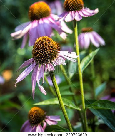 Nature's Pharmacy. Purple coneflowers are part of the Echinacea family which herbalists claim have multiple medicinal remedies including the common cold and respiratory ailments.