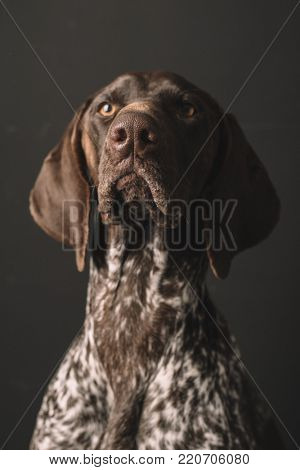 Dog portrait. Studio shot of cute German Pointer dog.