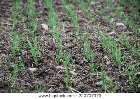 Closeup of young green wheat seedlings in a field