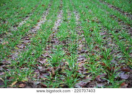 Lines of green corn seedlings at fall season