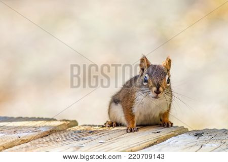 Clever little American Red Squirrel (Tamiasciurus hudsonicus) pauses for a pose on wooden planks against a muted palette background poster