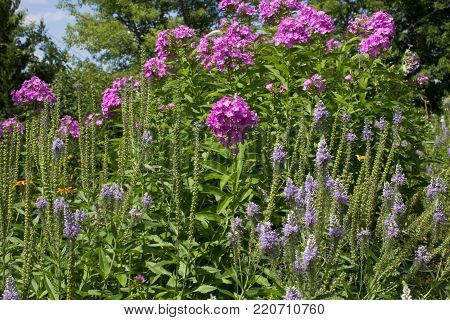 Purple Garden Phlox. Group of purple garden phlox in a flower bed. The perennial wildflower is native to North America and popular with gardeners for its vibrant color low maintenance.
