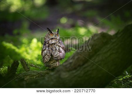 Bubo bubo. Owl in the natural environment. Wild nature. Autumn colors in the photo. Owl Photos.Owl. Photo is taken in the State Czech Republic.