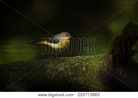 Motacilla cinerea. Wild nature. Photographed by Czech. Free nature. From bird life. Beautiful picture. Nature. Bird. Water and bird.
