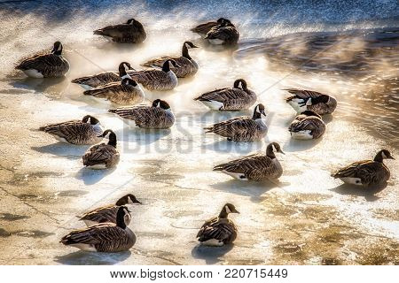 Canadian Geese basking in the steam from a pond during a subzero Wisconsin winter day.
