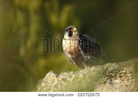 Falco peregrinus. Peregrine Falcon has a cosmopolitan extension. Naturally, it occurs not only in Antarctica, in parts of South America, New Zealand, and Iceland. Photographed in Czech. Winter nature. From bird life. Bird. Nature. Beautiful picture.