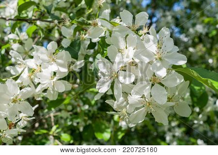 Sunlit branch of blossoming apple tree with white flowers in the springtime. Play of light and shadows on white flowers.