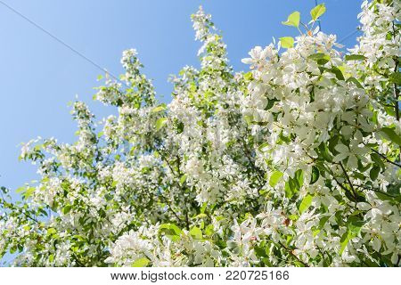 Sunlit beautiful spring blossoming white apple tree on blue sky background.