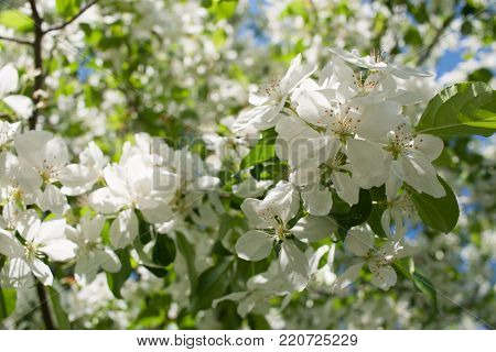 Spring background with sunlit branch of blossoming white apple tree in the foreground.