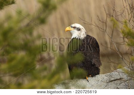 Haliaeetus leucocephalus. Bald Eagle is a big bird of prey living in North America. It is a national bird and a symbol of the state of the United States. Located in most of Canada and Alaska and the United States. Photographed in Czech. Bird. Nature. From