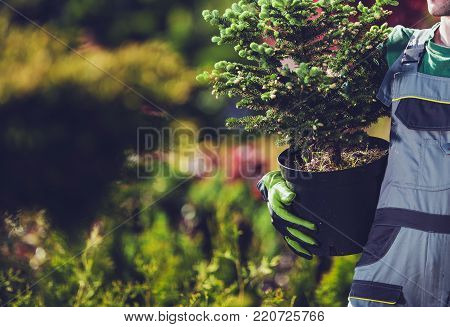Planting Spruce Trees. Caucasian Gardener with Small Spruce Tree Going to Plant the Tree in the Garden.