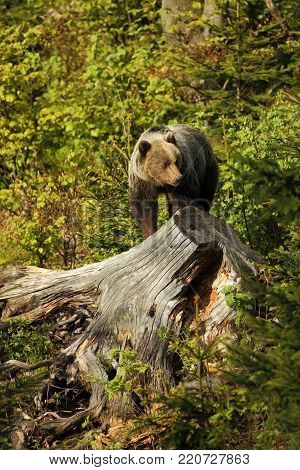 Ursus arctos. Brown bear. The photo was taken in Slovakia. The brown bear is found throughout Europe. Beautiful bear image. Nature of Slovakia. Wild nature. Free nature. From the life of the bears. Nature. Forest. Autumn nature of Europe. Europe.