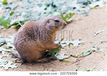 A black tailed prairie dog eating leaves
