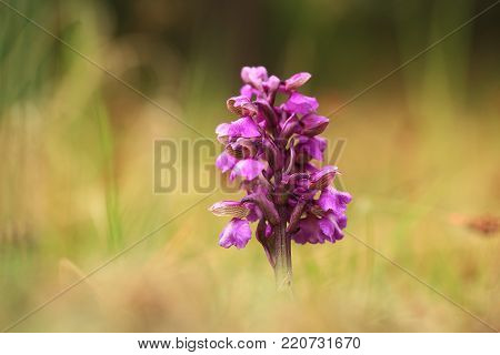 Orchis morio. Orchid in nature in the Czech Republic. Wild nature. A very rare plant. Plant photographed in the morning. The sun in the photo. Beautiful nature. Wild orchids on the morning meadow. Nature. Beautiful picture. Spring.