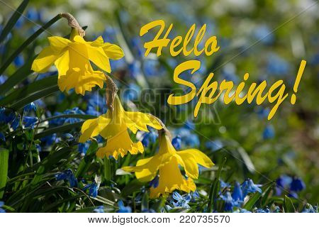 Hello Spring, Yellow and Blue Spring Lilly blooming on a spring day, Beautiful Background