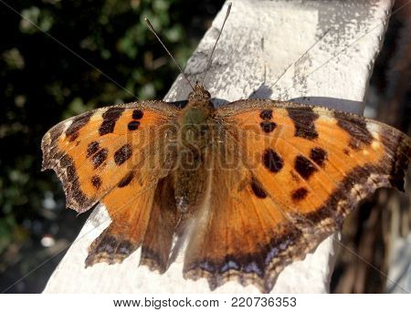 Photo shows beautiful tropical butterfly monarch, biology flying spotted wing insects. Nature consisting of Monarch Butterfly with open wings. Migratory colorful butterflies monarchs view from above.