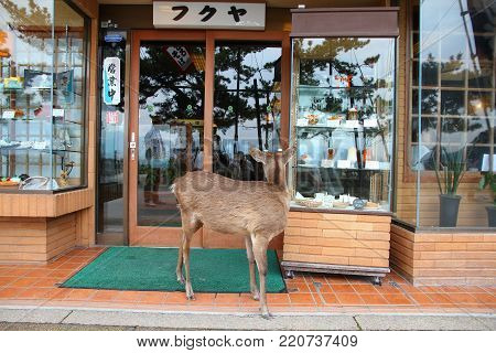 Miyajima, Japan - April 21, 2012: Tame Deer In Miyajima Island, Japan. Famous Island Shrine Is A Une