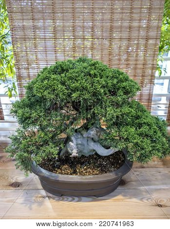 Bonsai Juniperus Chinensis. The age of about 70 years.