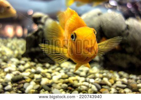 Red parrot cichlid fish swimming in the aquarium
