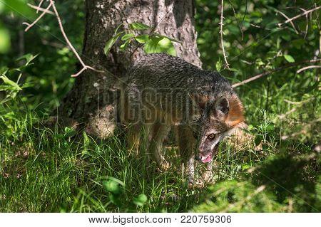 Grey Fox Vixen (Urocyon cinereoargenteus) in Woods - captive animal