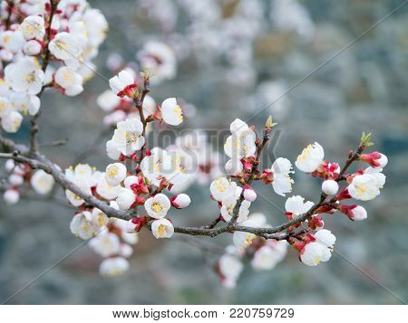 Apricot tree blooms on a spring day. White flowers branch no leaves. Closeup Shallow depth of field. Nature background.