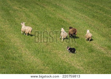 Sheep Dog Runs Group of Sheep (Ovis aries) Out Into Field - at sheep dog herding trials
