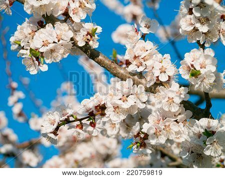 Apricot flowers. Beautiful springtime. Watercolor background. Blooming tree branches with white flowers. White sharp and defocused flowers blooming tree.
