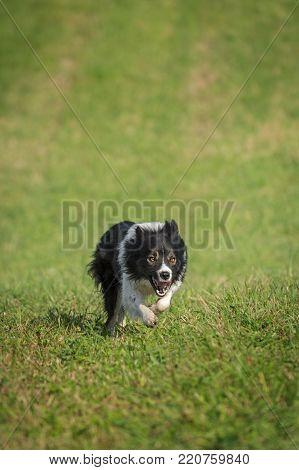 Stock Dog Runs Forward to Viewer - at sheep dog herding trials