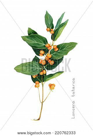 Tatarian honeysuckle branch with orange berries. Scientific name: Lonincera tatarica. Garden plant. Hand drawn botanical sketch isolated on white background. Watercolor illustration.