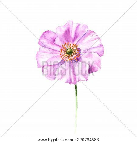 Watercolor Anemone Flower Hand Drawn Single Isolated On White Background Artistic Floral Element