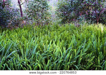 Lush green temperate fern plants surrounded by a rural deciduous forest
