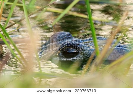 An American Alligator creeping through the weeds of the swamp at the Everglades National Park located in Florida 2017