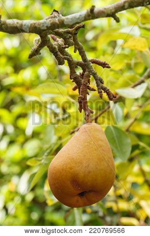 Pear ripening on a pear tree in an orchard during summer