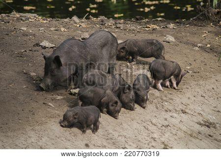 black wild pig boar female with her newborn babies piggies piglet on the lake shore. soft focus