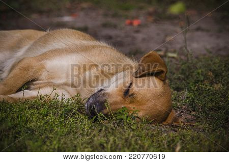 light brown mongrel dog peacefully sleeping on the grass lawn park.