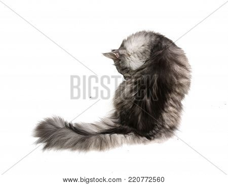 Cat from the back isolated on white background