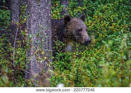 Grizzly on the prowl, Banff National Park, Alberta, Canada