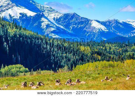 Big horns resting in a meadow, Sheep river Provincial Park, Alberta, Canada