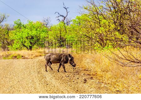 Warthog in Kruger National Park in South Africa