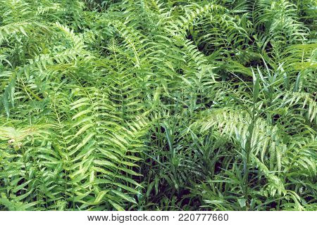 Ferns Tropical Green Leaves Foliage,floral Natural Background.spring And Summer Nature Backdrop