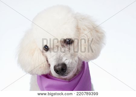 Portrait of cute groomed white poodle dog isolated