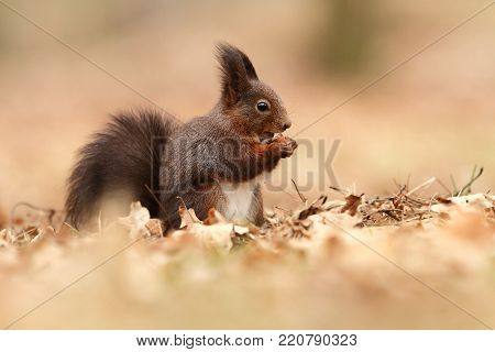 Sciurus vulgaris. The squirrel was photographed in the Czech Republic. Squirrel is a medium-sized rodent. Inhabiting a wide territory ranging from Western Europe to Eastern Asia.Animal in the wild. Beautiful picture of a rusty squirrel.